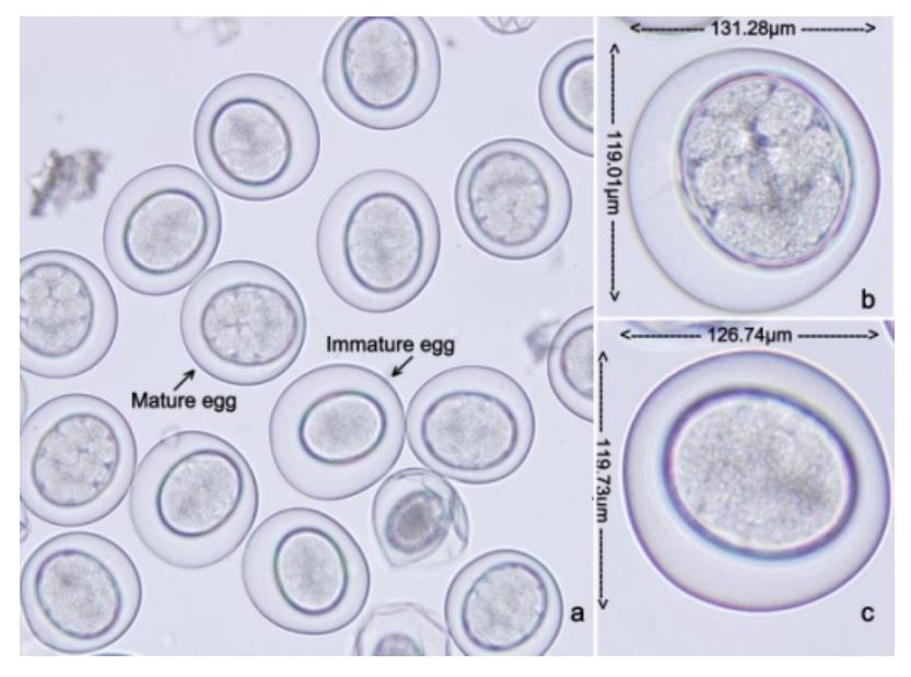 mature eggs